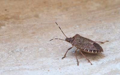 Stink bug in Peekskill NY - Garrie Pest Control