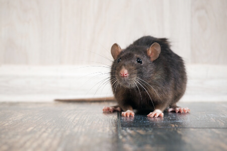 Rat and Mice Identification in New York