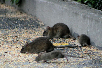 Rodent FAQs in New York